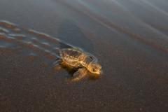 Turtles, Costa Rica-8